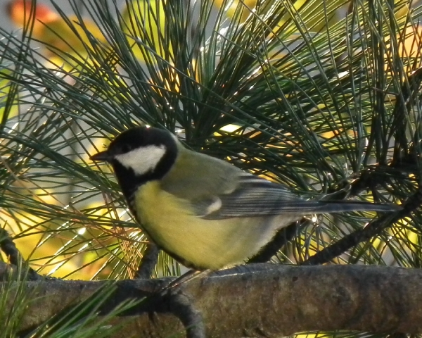 Kjøttmeis (Parus major)