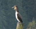 Storskarv (Phalacrocorax carbo)