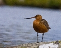 Lappspove (Limosa lapponica)